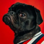 Proud Pug looking over his shoulder on red background